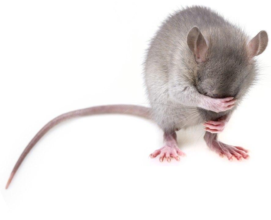 Томские ученые заставят мышей тренироваться на беговой дорожке ради поиска немедикаментозного лечения диабета.