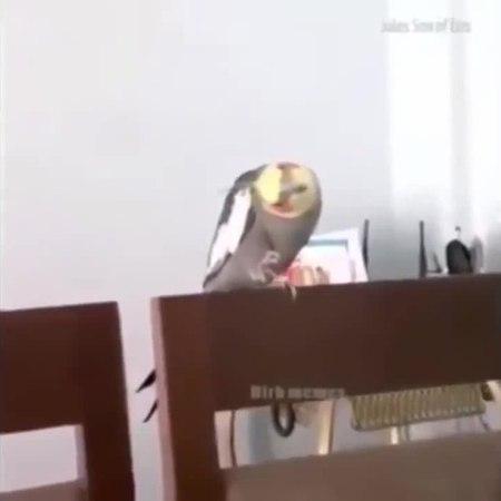 Parrot choose dark side
