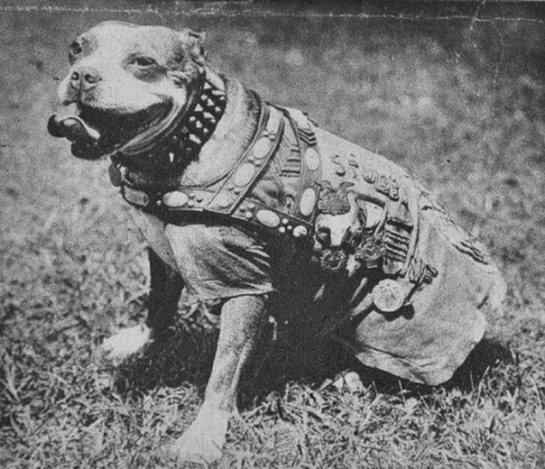 Сержант Стабби Это наиболее известная боевая собака, участвовавшая в Первой мировой войне, получившая множество наград и единственная в истории собака, которой было присвоено воинское звание