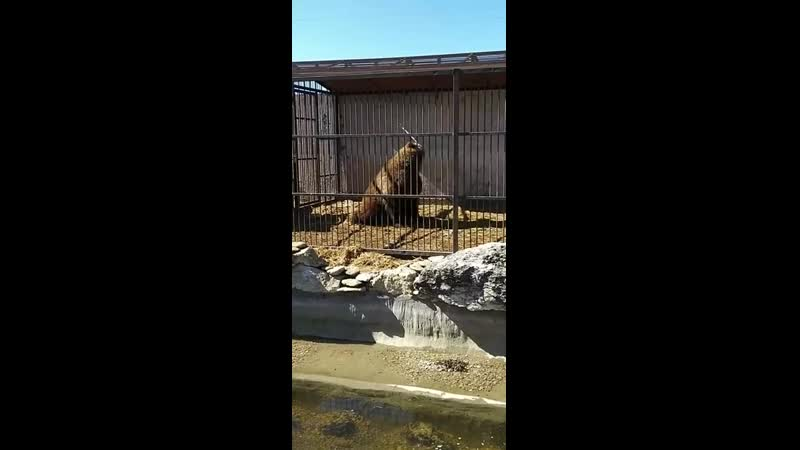 В зоопарке Запорожской области показали забавные игры медведя...