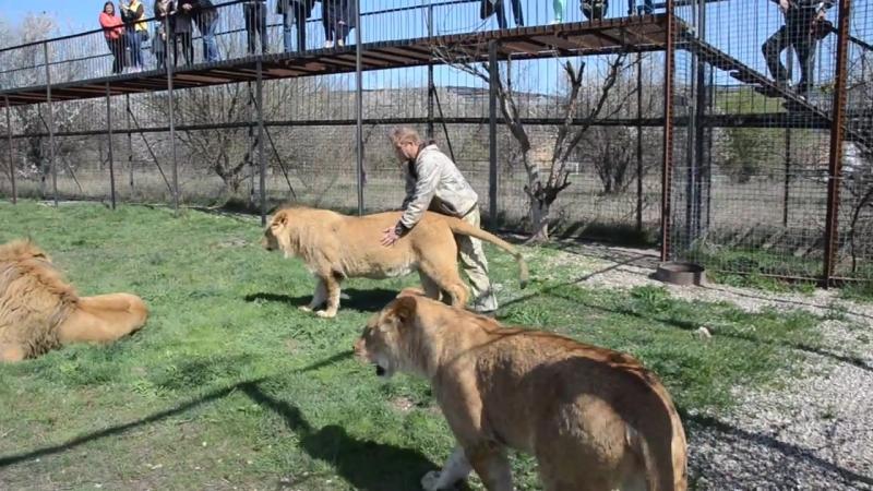 В вольере с прайдом льва Олежки Тестирование львов перед выпуском в Саванну Т