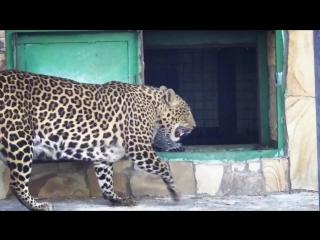 Детёныш леопарда. Парк львов Тайган
