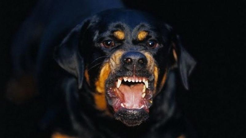 Нападение собак на ребенка. Ротвейлеры покусали школьника. Как наказать животное?