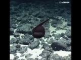 Необычная рыба со ртом как у пеликана