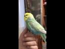 Ручной волнистый попугайчик Яша