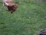 Как курица летать училась.