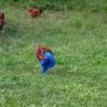 Rooster in trousers. петух в шароварах