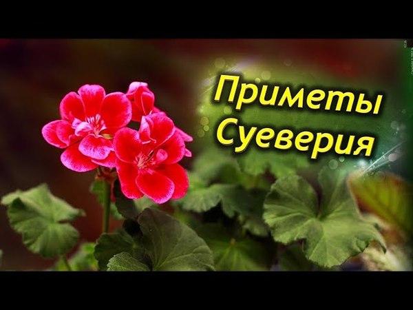 Герань в доме! Приметы и суеверия о цветке. Стоит ли держать герань дома