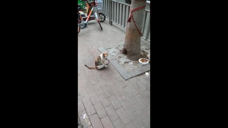Китай глазами лаовая. This is Chaina. Кот на привязи.