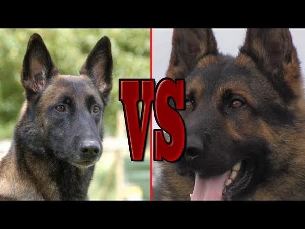 Which dog will you choose ? German shepherd or Belgian Malinois