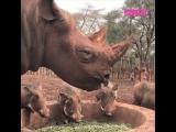 Носорог ужинает
