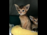 Kittens of the Abyssinian breed🐾Summer Time🐾