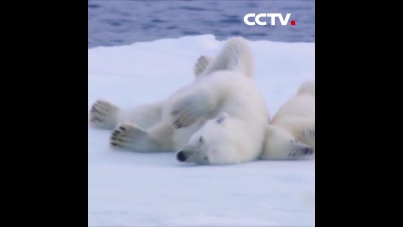 Вот как получить кадры с белыми медведями на природе