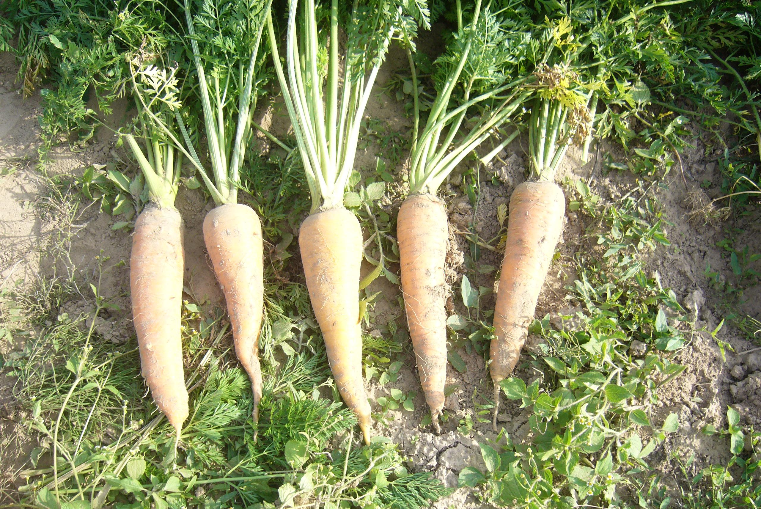 Моя любовь, моя морковь!