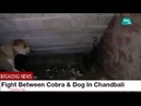 Fight Between Cobra Dog In Bhadrak Chandbali Satavauni Odisha Tak Mirza 🐍 catcher Bhadrak