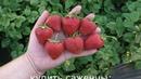 СВИТХАРТ среднеспелый сорт летнего плодоношения