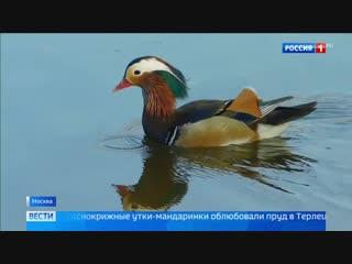 Нетипичные мандаринки: в Москве появились утки с Дальнего Востока