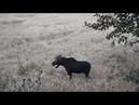 Охота на Лося с лука