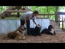 Догтренинг 303 Гигантские собаки подчинение и контроль в сложных условиях
