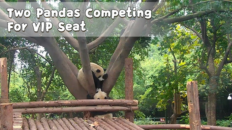 Two Pandas Competing For VIP Seat | iPanda