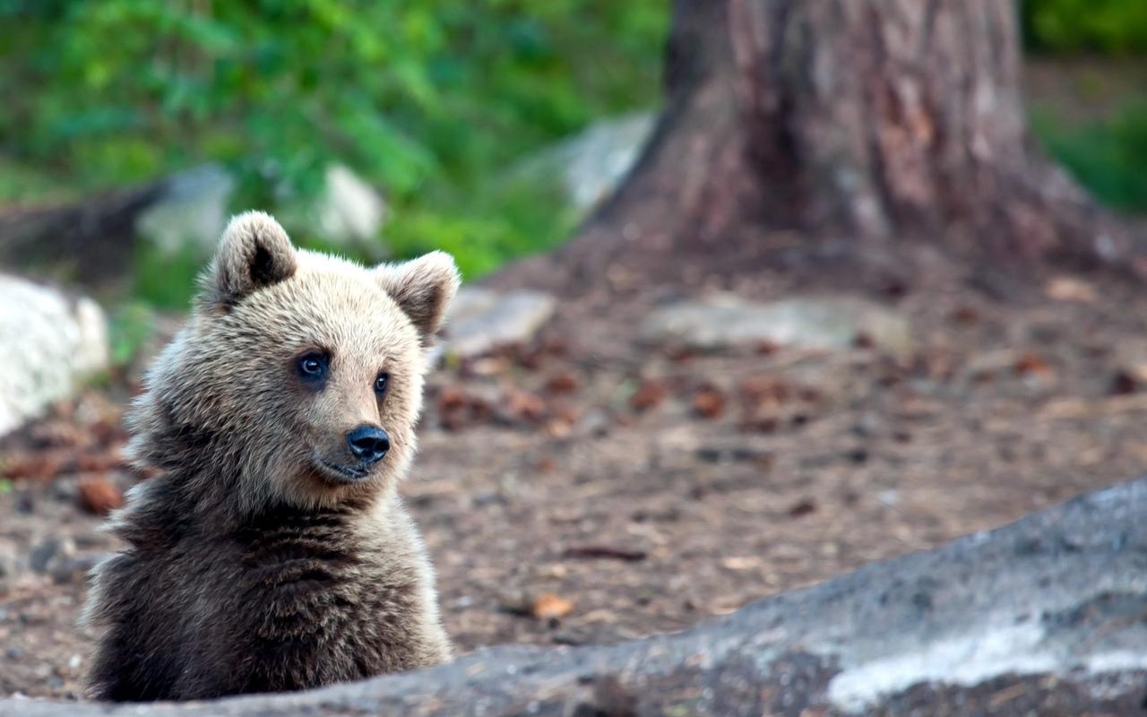 Охотники убили медвежонка, разорившего пасеку в Томском районе