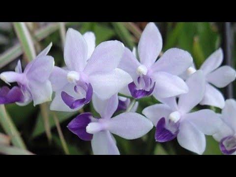 Орхидея Сапфир 😍выпустила цветонос.