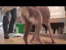 Vet Ranch на русском - Хаски, из чудовища в красавца _Husky, Ugly to Beautiful