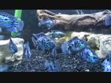 electric blue jack dempsey cichlid