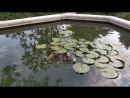 Рыбки в пруду у Воронцовского дворца