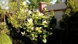 Встречаем утро с магнолиями.Magnolia Soulangeana,Kobus,Butterfly.4мая2018.