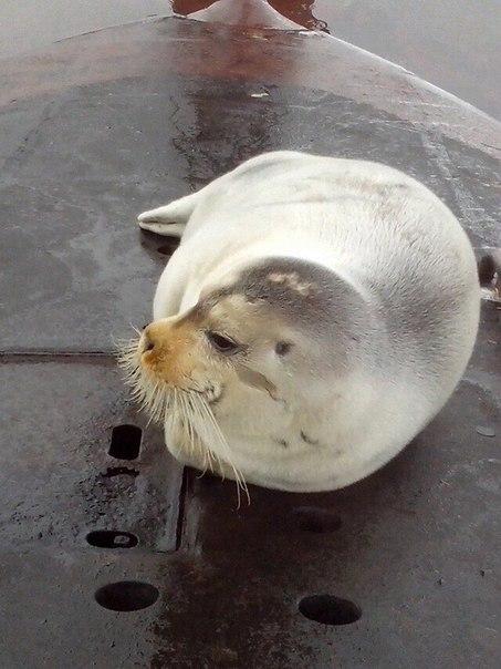 этом случае живые нерпы на корпусах подводных лодок фото каталоге