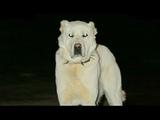 Anadolunun Beyaz Aslan