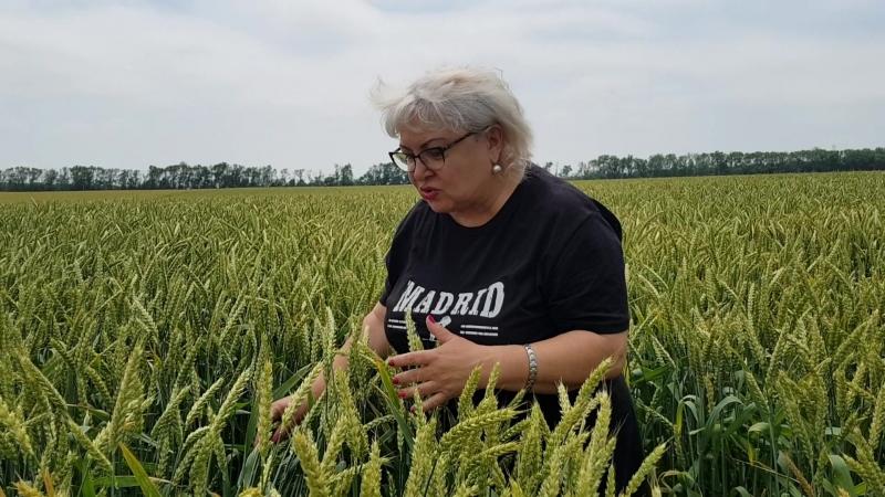 Исследование заболеваемости озимой пшеницы в Краснодарском крае