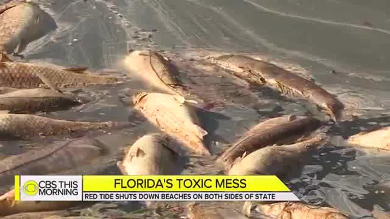 Пляжи Флориды сейчас заполнены вовсе не отдыхающими а мертвой рыбой А воды залива окрашены в неприятный ржавый цвет