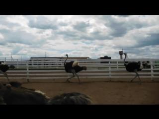 Великолепный страус-3. Побегушки.