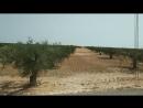 Оливковые плантации