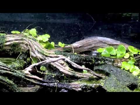 Mudskippers in a paludarium