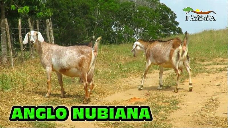 ANGLO NUBIANA