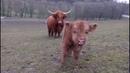 Přátelský Highland cattle s mládětem