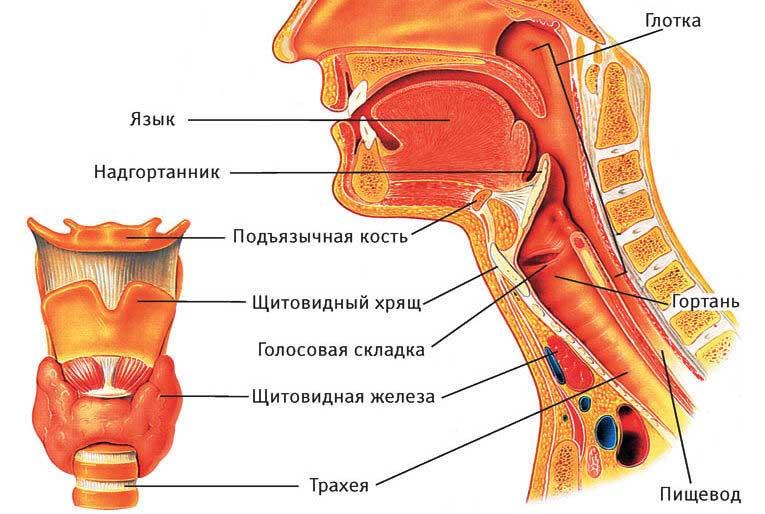 Полая трубка, известная как пищевод, проходит от желудка к горлу.