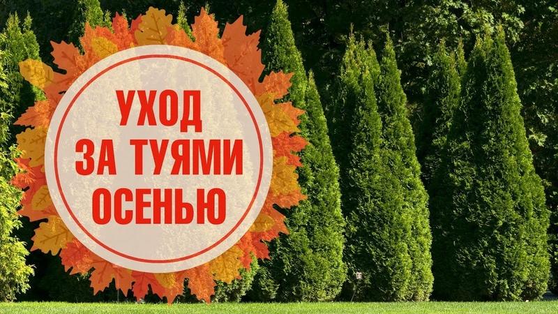 Уход за туей осенью 🌲 Подготовка к зиме 🌲 Укрытие, полив, удобрение