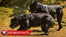 Cane Corso - Ultimate Facts