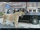 Worlds Biggest Cat, Hercules the Liger, Visits London Towne
