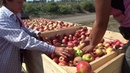 Как в Анапе яблоневый сад вырастили за 17 месяцев