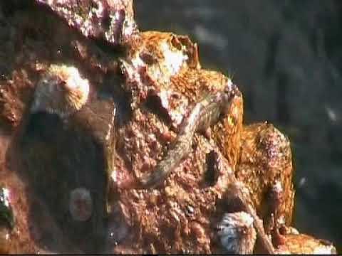 Двоякодышащие рыбы, Гребнезубая собачка, рыба выползающая поесть на сушу