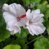 Белый цветок. Пеларгонии Уфа