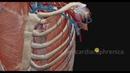 Внутренняя грудная артерия