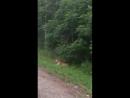 Тигр (Снято между Бикином и Лучегорском, Приморский край)