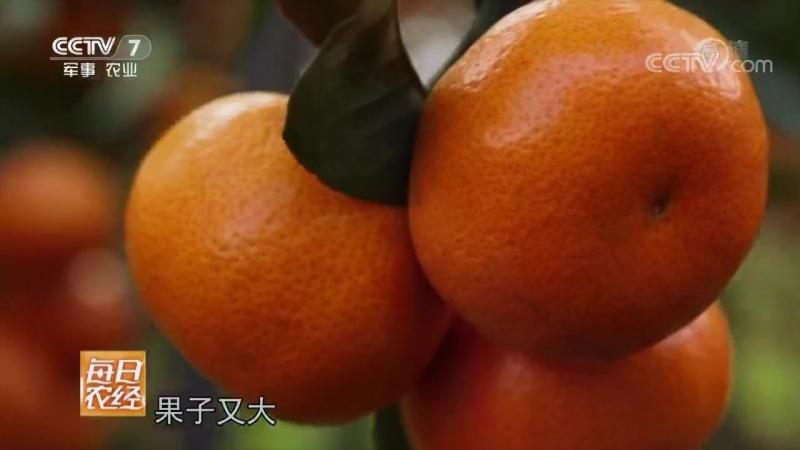 Мандарины ''ЦзюйЦзы'', или ''МиЦзюй''. Безбрежное море оранжево-красных плодов близ города Юнчжоу (провинция Хунань).
