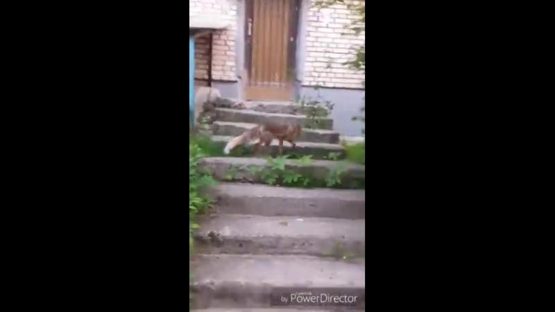 В Кимрах Тверской области по улицам бегают лисы